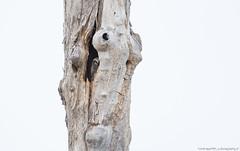 Hiiripöllö (mattisj) Tags: aves birds eläimet fåglar hiiripöllö linnut northernhawkowl pöllölinnut pöllöt strigidae strigiformes surniaulula hökuggla