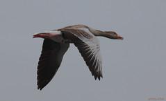 Greylag Goose (philipelbek) Tags: greylag goose anser grågås