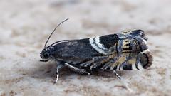 Grapholita jungiella (Cossus) Tags: grapholita grapholitini olethreutinae tortricidae листовёртка 2019 пестово