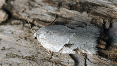 Acleris ?kochiella (Cossus) Tags: acleris tortricidae tortricinae tortricini листовёртка пестово сомнительно iduncertain 2019