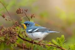 Northern Parula (Tracy Munson Photography) Tags: atlanticcanada bayoffundy birding birdwatching canada eastcoast maryspoint migration nature nb newbrunswick northernparula songbirds spring tourism travel warblers wildbirds