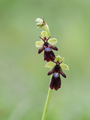 Fly Orchid (little mester.) Tags: flyorchid ophrysinsectifera viagellia orchid derbyshire derbyshiretradition peakdistrictnationalpark limestone derbyshirewildlifetrust