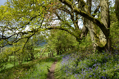 Helmeth Hill Bluebells (Seventh Heaven Photography - (Flora)) Tags: bluebells blue flowers flora blooms bulbs plants woods forest trees leaves grass helmeth hill church stretton shropshire england may spring landscape nikond3200
