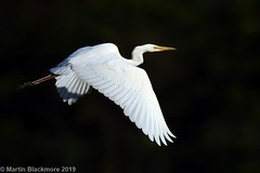 Great White Egret in flight I37910 (wildlifetog) Tags: great wild wildlife wight wings egret mbiow martin marshes blackmore britishisles bird birds british brading isleofwight inflight rspb