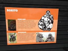 rotterdam_8_112 (OurTravelPics.com) Tags: rotterdam explanation western lowland gorilla bokito africa area diergaarde blijdorp zoo