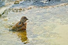Bath Time! (Dibbly Dobbler) Tags: sonyrx10iii linnet
