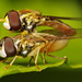 Mating Hoverflies