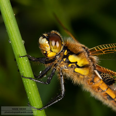 Four-spotted Chaser Dragonfly (Libellula quadrimaculata) (photosbymarkwebb) Tags: dragonflies dragonfly four fourspottedchaser hamwall insect insects libellulaquadrimaculata uk chaser somerset spotted