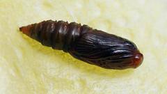 Eudemis porphyrana (pupa) - Листовёртка порфировая (куколка) (Cossus) Tags: eudemis olethreutinae olethreutini tortricidae листовёртка 2019 пионерская куколка pupa