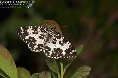 Argent & Sable (Rheumaptera hastata) (gcampbellphoto) Tags: argentsable rheumapterahastata moth insect macro nature wildlife ireland gcampbellphoto biodiversity