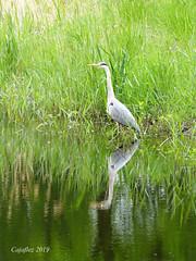 Blue heron - blauwe reiger (Cajaflez) Tags: bird vogel fogel oiseau blueheron blauwereiger reflections spiegelingen reflecties riet reed ngc npc