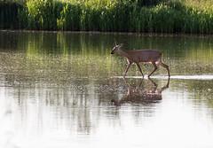 Reh auf Abwegen... ([-ChristiaN-]) Tags: reh wasser natur biotop ricke roe deer water nature