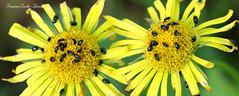 Il pranzo è servito! (francescociccotti1) Tags: fiori insetti inpollinazione prati primavera giallo