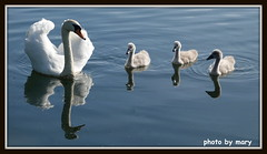 Swan family (maryimackins) Tags: swan cygnets tonbridge kent wildlife mary mackins reflections