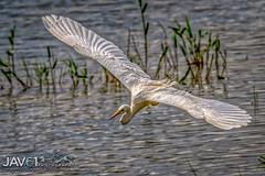 Great egret (Ardea alba)_0532 (George Vittman) Tags: animals birds nature photography bird egret heron flight water lake marsh nikonpassion jav61photography jav61 wildlifephotography