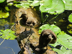 IMG_0642 (belight7) Tags: ducks mandarin pond burnham beeches uk england nature