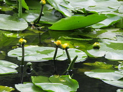 IMG_0645 'brandy bottles' (belight7) Tags: yellow water flowers lilly pads pond burnham beeches uk england nature