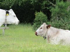 IMG_0763 (belight7) Tags: white cows cattle field grazing burnham beeches uk england nature