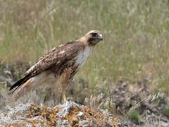 Red-tailed Hawk (Buteo jamaicensis) (Chub G's M&D) Tags: avian utah aves hawk boxeldercounty buteojamaicensis birds birdofprey birdphotography redtailedhawk raptor promontory birding