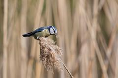 Blue tit (Jens Hyldstrup Larsen) Tags: blåmejse cyanistescaeruleus bluetit paridae mejser spurvefugle passeriformes paruscaeruleus