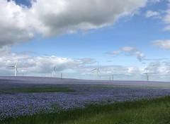 Linseed at Seamer (Martin Bewley) Tags: seamer crops blue turbines linseed