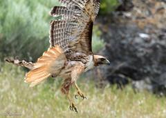 Clipped wing, damit!! (Chub G's M&D) Tags: avian utah aves hawk boxeldercounty buteojamaicensis birds birdofprey birdphotography redtailedhawk raptor promontory birding