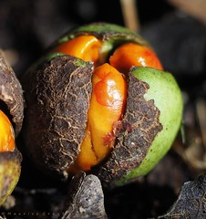 Kohekohe fruit (Maurice Grout) Tags: wellington northisland newzealand kohekohe dysoxylumspectabile kohekohefruit orange