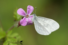 Wood white (Matt Hazleton) Tags: butterfly insect wildlife nature animal outdoor canon canoneos7dmk2 canon100mm 100mm eos 7dmk2 matthazleton matthazphoto salcey salceyforest woodwhite macro leptideasinapis northamptonshire
