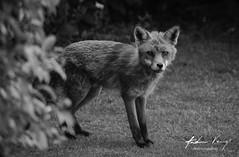 Fox (andrew.varney) Tags: fox animal blackandwhite monochrome d5100 nikon blackwhite