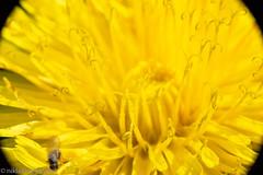 Extension tube macros (aixcracker) Tags: extensiontube nikond800 macro närbild makro lähikuva closeup nikonafs200mmf4micro borgå porvoo suomi finland summer sommar kesä june juni kesäkuu flower blomma kukka europe europa eurooppa
