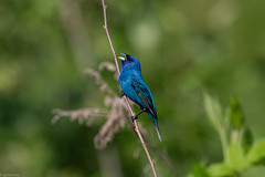 Indigo Bunting (grobinette) Tags: indigobunting bunting male neotropical bristoestationheritagebattlefieldpark