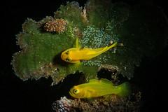 3 golden amigos (Luko GR) Tags: dauin phiippines visayas macro underwater scuba blackbackground snoot yellow goldengoby algae costasiellasp seaslug eggs