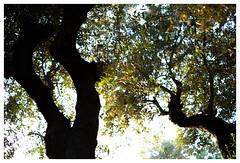 From the hammock (Peter-Durrant) Tags: zakynthos greece planos rodisstudios tsilivi olive olivetrees olivetree tree sky hammock fujifilm xt2 xf35mmf14r zante