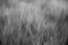 (kuuan) Tags: manualfocus mf minolta rokkor mrokkorf490mm mrokkor f4 90mm leica f490mm 490 wheat grains field bw