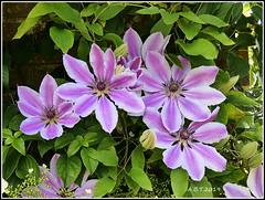 Felbrigg Hall. Walled Garden Clematis 'Nelly Moser' (Alan B Thompson) Tags: 2019 june flower lumix fz82 picassa