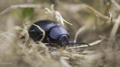 Bloody-nosed beetle (*Ugoline*) Tags: animaux chrysomèlenoire chrysomèles coléoptères insectes animals insects bloodynosedbeetle beetle timarchatenebricosa bloodspewer crachesang timarque chrysomélidés bloodspewingbeetle biodiversity biodiversité macro canon