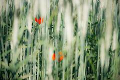 (kuuan) Tags: manualfocus mf minolta rokkor mrokkorf490mm mrokkor f4 90mm leica f490mm 490 colorful flower red field lightroom poppy wheat
