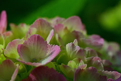 This blooming hydrangea looks so pretty. (Yuzu Tama) Tags: this blooming hydrangea looks pretty japan shizuoka fuji todays dayliphoto instadaily photogenic igjapan loversnippon worldcaptures flickrfriday 2019 worldheritage tabijyo genicmag retripjapan retripshizuoka explorejapan traveljapan radiof artofimages ftimes genictravel geniclife genicblue genicjapan genicphoto genictown genicsummer tabijyosummer tabijyomaptwn tabijyotravel flickrheroes brilliant flickr celebrities natural decay photo photographer pure photography macro canonflickraward flickrelite flickrunitedaward estrellas