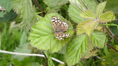 Speckled wood butterfly (Deanne Wildsmith) Tags: butterfly insect speckledwoodbutterfly lichfield christianfields earthnaturelife speckledwood
