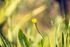 yellow (Pepenera) Tags: yellow giallo flower fiore fleur flowers flor