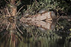 Finalmente il sole (Marcello Giardinazzo) Tags: tartarughe stagno natura wild acqua lago ambiente paesaggio
