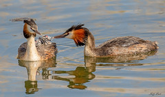 DSC6353  Grebes.. (Jeff Lack Wildlife&Nature) Tags: bird nature birds animal animals reeds countryside wildlife lakes estuary wetlands ponds avian grebe waterbirds waterways estuaries greatcrestedgrebe wildbirds grebes reservoirs reedbeds wildlifephotography coastalbirds jefflackphotography coth5