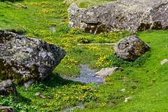 Plateau de Gérac (Ariège) (PierreG_09) Tags: ariège pyrénées pirineos couserans occitanie midipyrénées ustou guzet plateaudegérac gérac flore ruisseau renoncule