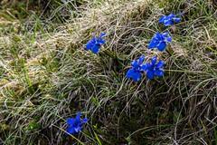 Plateau de Gérac (Ariège) (PierreG_09) Tags: ariège pyrénées pirineos couserans occitanie midipyrénées ustou guzet plateaudegérac gérac flore genttianeprintanière