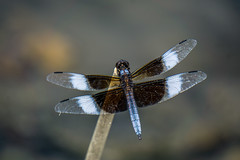 Widow Skimmer (agasfer) Tags: 2019 southcarolina greenville furman swanlake dragonflies sony a6000 sonye456355210oss