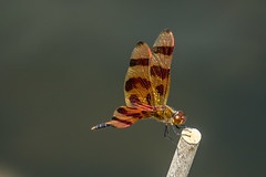Halloween Pennant (agasfer) Tags: 2019 southcarolina greenville furman swanlake dragonflies sony a6000 sonye456355210oss
