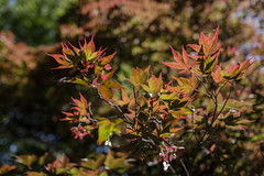 The colour of Summer (Paulie-W) Tags: summer tree leaves colours warm acer maple