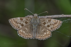 _IMG9861 Dingy Skipper - Erynnis tages (Pete.L .Hawkins Photography) Tags: petehawkins petelhawkinsphotography petelhawkins petehawkinsphotography 150mm irix macro pentaxpictures pentaxk1 petehawkinsphotographycom f28 11 fantasticnature fabulousnature incrediblenature naturephoto wildlifephoto wildlifephotographer naturesfinest unusualcreature naturewatcher insect invertebrate bug 6legs compound eyes creepy crawly uglybug bugeyes fly wings eye veins flyingbug flying beetle shell elytra ground