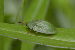 _IMG0147 Green Tortoise Beetle (Pete.L .Hawkins Photography) Tags: petehawkins petelhawkinsphotography petelhawkins petehawkinsphotography 150mm irix macro pentaxpictures pentaxk1 petehawkinsphotographycom f28 11 fantasticnature fabulousnature incrediblenature naturephoto wildlifephoto wildlifephotographer naturesfinest unusualcreature naturewatcher insect invertebrate bug 6legs compound eyes creepy crawly uglybug bugeyes fly wings eye veins flyingbug flying beetle shell elytra ground green tortoise