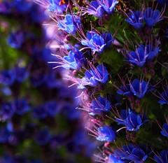 Electric blue (pike head) Tags: echium olympus omde1mk2 nationaltrust coletonfishacre uk england devon southwest southdevon